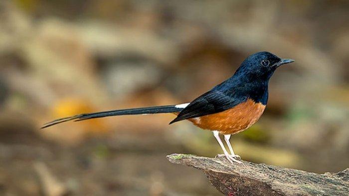 Tips Dan Trik Perawatan Burung Murai Batu Birdaily
